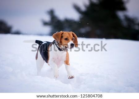 Beagle dog in winter