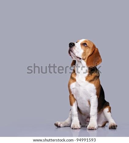 Beagle dog isolated on grey background
