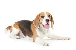 Beagle dog isolated on white background
