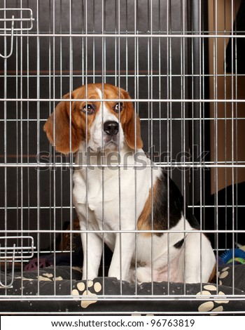 Beagle Dog locked in iron cage