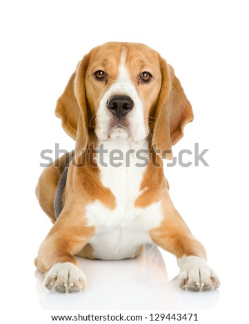 Beagle dog looking at camera. isolated on white background