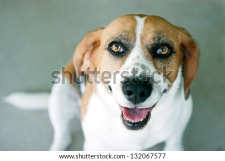 Beagle Dog Looking at the Camera (focus on eyes)