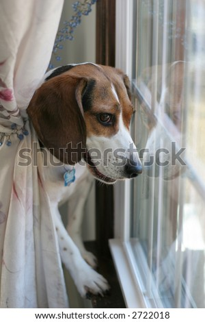 beagle dog looking out window