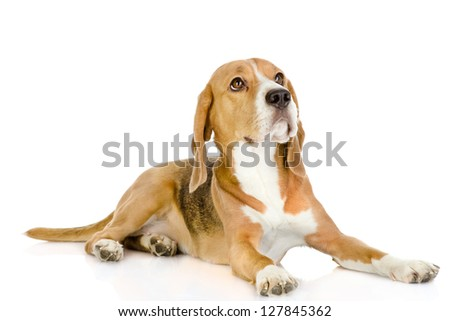 Beagle dog looking up. isolated on white background