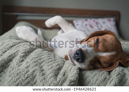beagle dog lying on a pillow, sleeping, sad, funny face, big ears. Foto stock ©