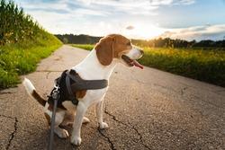 Beagle dog on a leash sitting on rural asphalt road. Sunset in nature. Dog Background