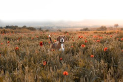 Beagle dog on a meadow of wild flowers and poppies. Spring vintage look.