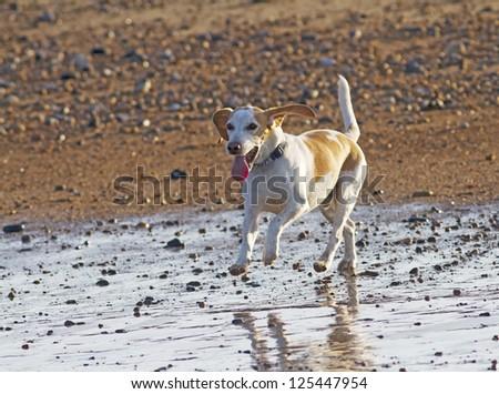 Beagle dog on holiday enjoying a evening run on the beach.