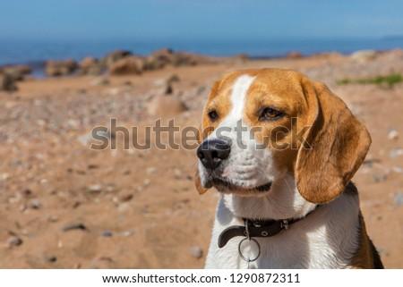 Beagle dog on sea beach #1290872311