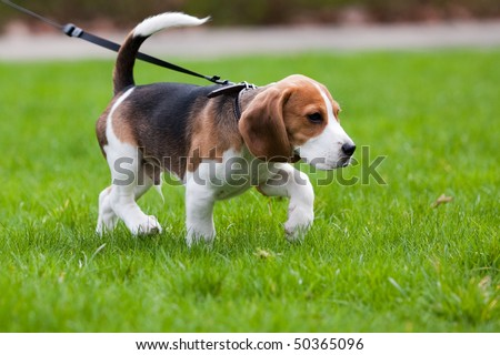Beagle dog on the scent. Green grass. - stock photo
