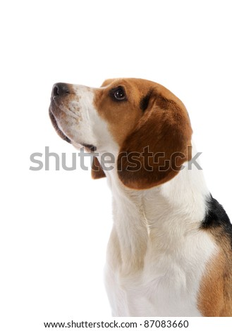Beagle dog portrait in studio, isolated on white background