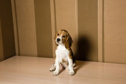 Beagle dog posing infront of the wall