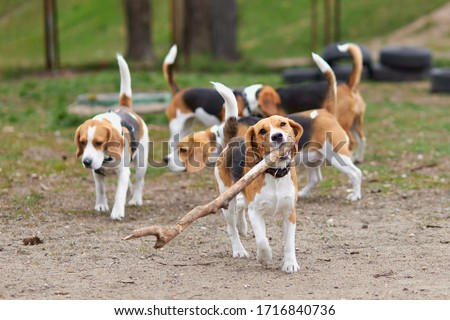 beagle dog running with a big stick on the background of many dogs Zdjęcia stock ©