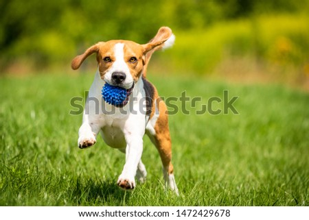 Beagle dog runs through green meadow with a ball. Copy space domestic dog concept. Dog fetching blue ball. ストックフォト ©