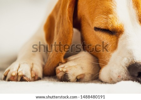 Beagle dog sleeping on a couch. Closeup of paws and canine muzzle #1488480191