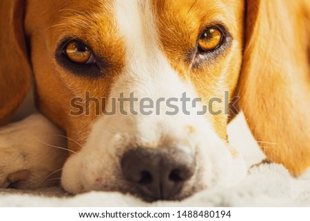 Beagle dog sleeping on a couch. Closeup of paws and canine muzzle #1488480194