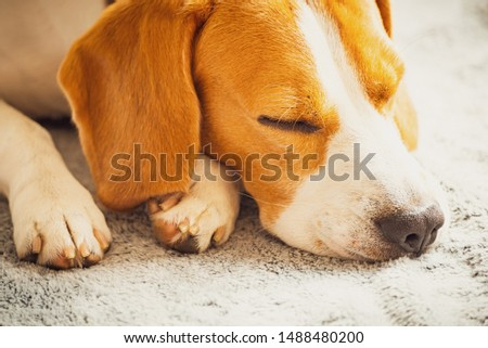 Beagle dog sleeping on a couch. Closeup of paws and canine muzzle #1488480200