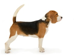 Beagle dog, stands isolated on white background