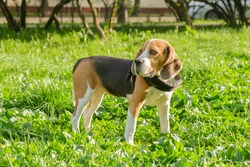 Beagle dog stands on a green lawn in the park. Walk in the park with the dog. Lop-eared short-haired hunting hound breed