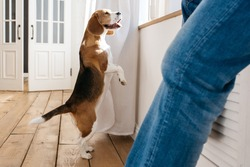 Beagle dog stands on its hind legs and looks out the window. In the foreground sits the owner of a dog