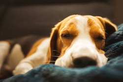 Beagle dog tired sleeps on a couch. Adorable dog background