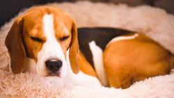 Beagle dog tired sleeps on a fluffy dog bed. Canine background.