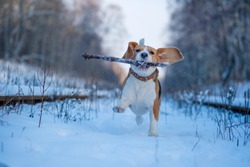 Beagle dog walking in snowy winter forest at Sunny winter day