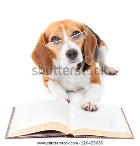 beagle dog wearing glasses reading book - stock photo