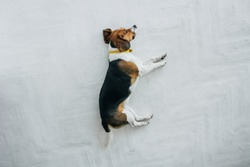 Beagle dog with a yellow collar sleeping on a white wooden floor. Sleepy dog sleeping and dreaming. Tricolor dog top view.