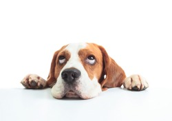 Beagle head isolated on a white background, selective focus .