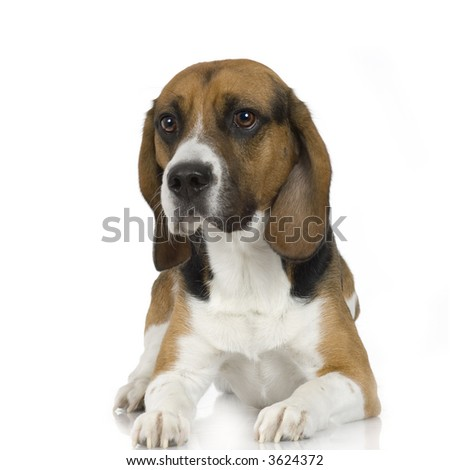 Beagle in front of white background - stock photo