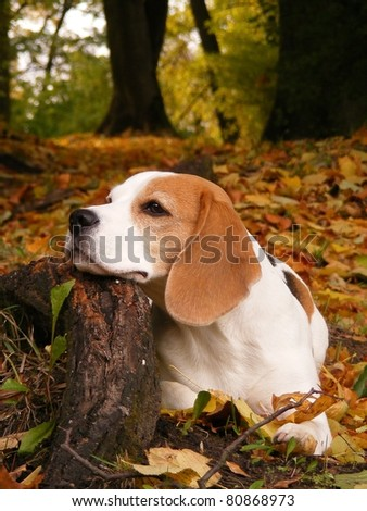 Beagle in park lying on tree root