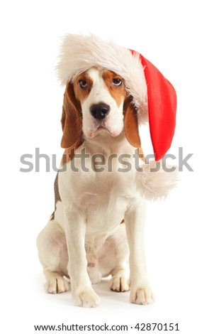 beagle in red hat on a white background