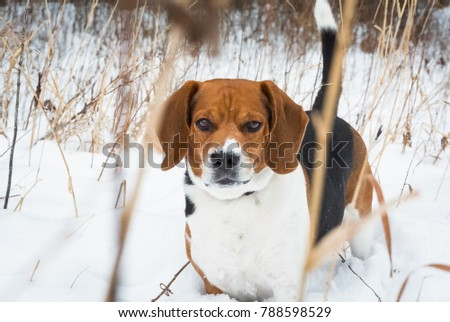 Beagle in the snow #788598529