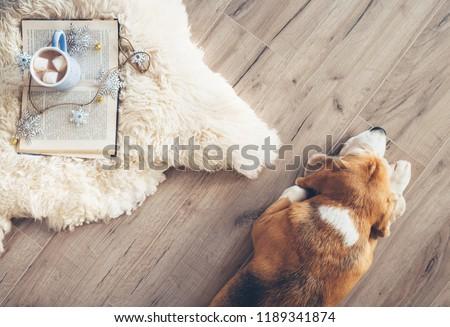 Beagle lies on the laminat floor near the sheepskin carpet with book and mug of hot chocolate #1189341874