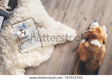 Beagle lies on the laminat floor near the sheepskin carpet with book and mug of hot chocolate Zdjęcia stock ©