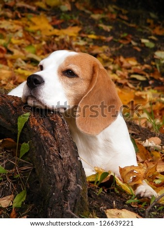 Beagle lying on the ground in autumn forest and resting his head on the tree root