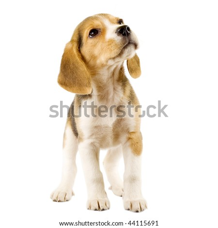 Beagle (2 months) in front of white background