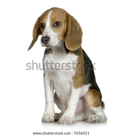 Beagle  (5 months) in front of white background