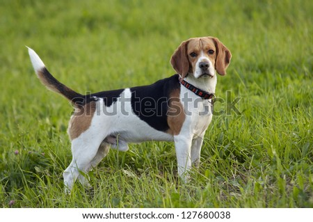 beagle on meadow - pedigree dog