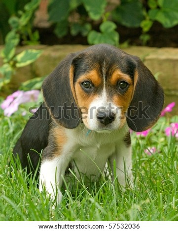 Beagle Pup - stock photo