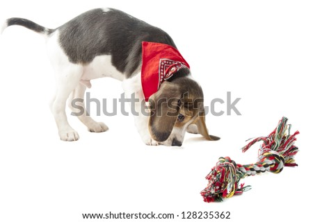 Beagle pup playing with colorful rope isolated over white