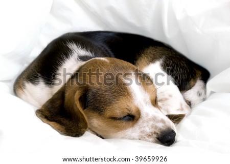Beagle Pup Sleeping On A Blanket Stock Photo 39659926 : Shutterstock