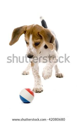 Beagle puppy chasing a ball