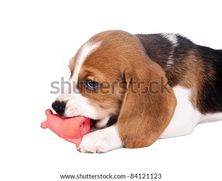 Beagle puppy chewing on a toy red