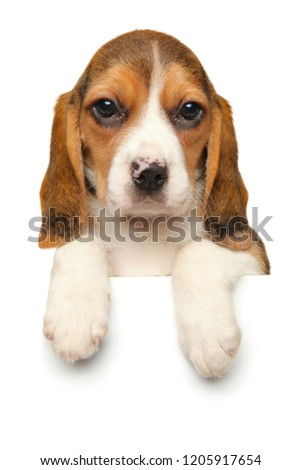 Beagle puppy dangling his paws above banner isolated on white background. Baby animal theme