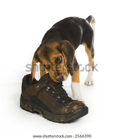 Beagle puppy dog chewing on a big walking boot