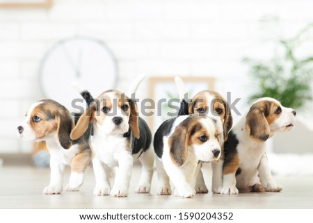 Beagle puppy dogs standing at home Сток-фото ©
