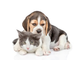 Beagle puppy embracing adult cat. isolated on white background