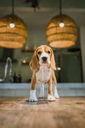 beagle puppy indoor and bath tub